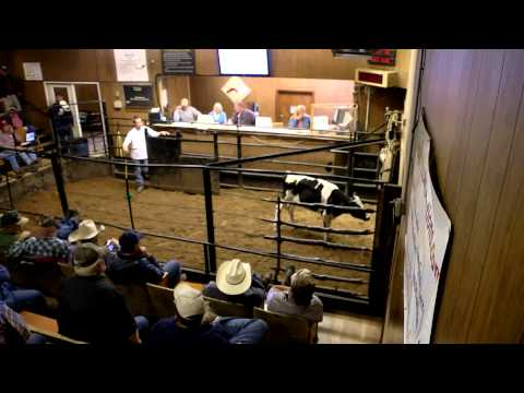 "Dickson, Tennessee - Cattle Auction ""highlights"""