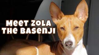 Meet Zola The Basenji!
