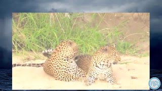 Mating Leopards With Different Sex Position