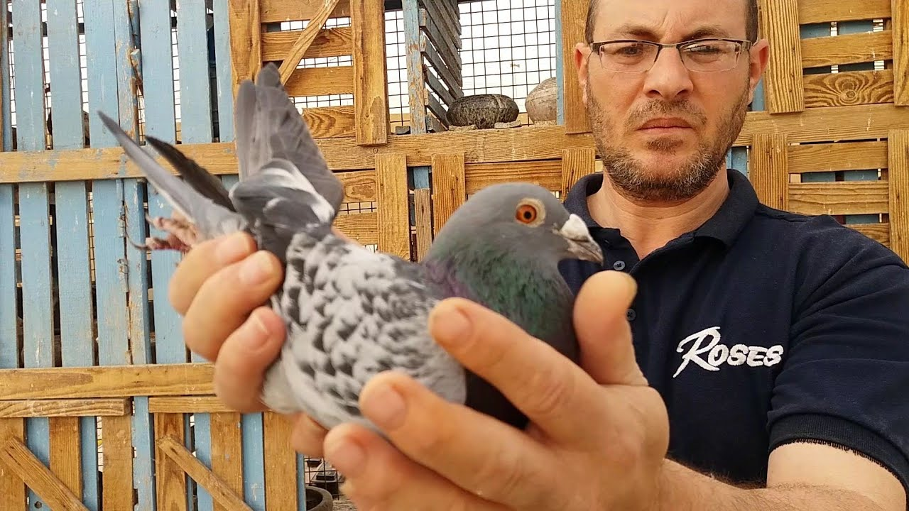 أسرار ومواصفات الحمام الزاجل Specifications Of Original Zagel Pigeon Youtube