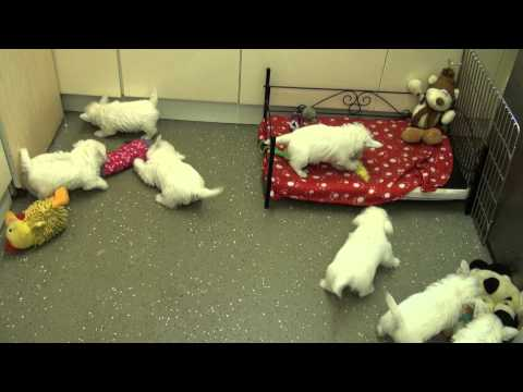 Little Rascals Uk breeders New litter of Pedigree West Highland White boys and girls