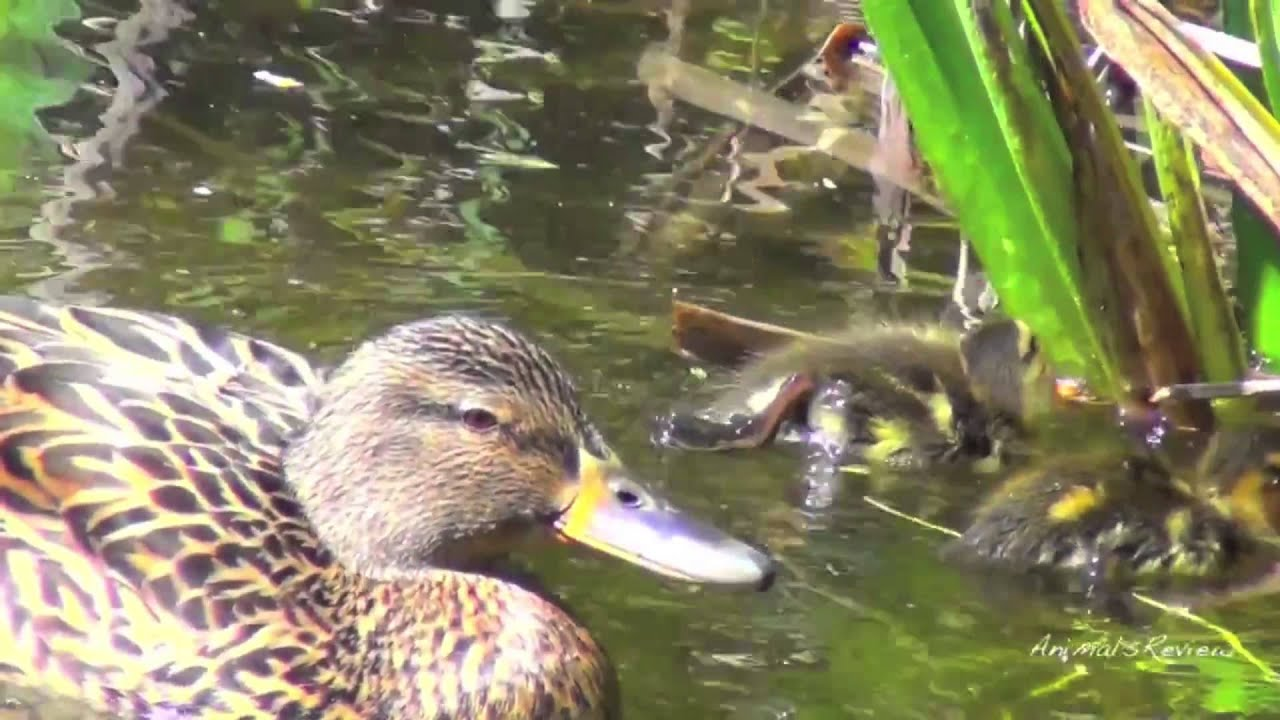 Cute ducks babies, swimming in a pond - YouTube