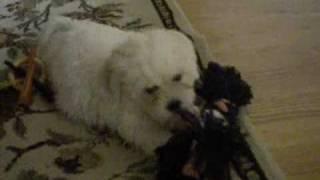 My New Zuchon Dog, Sophie Playing 2