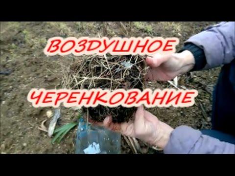 Размножение черенками - Форум - Тополь пирамидальный