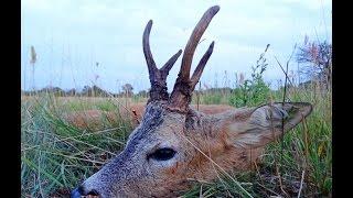 Perfect shot on the roebuck hunting. Polowanie na rogacza-celny strzał. Rehbock Jagd mit gut schuss
