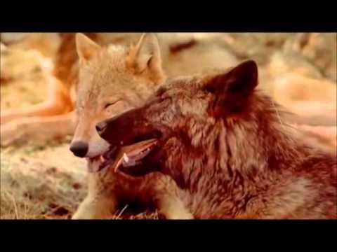 Documental: El regreso del lobo - YouTube