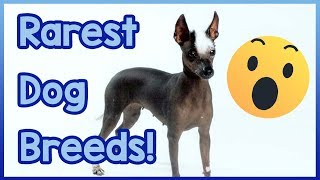 The Worlds Rarest Dog Breeds! Dog Breeds You've Never Heard of! - W...