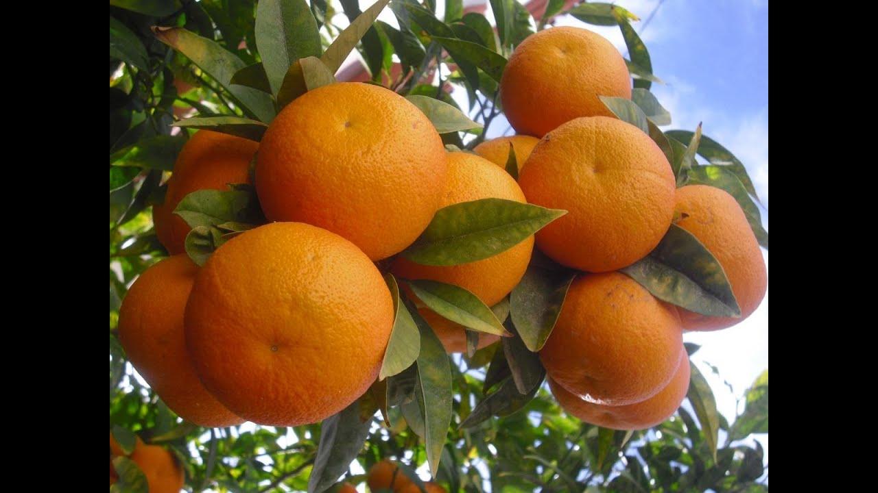 تفسير رؤية البرتقال والليمون في المنام Youtube