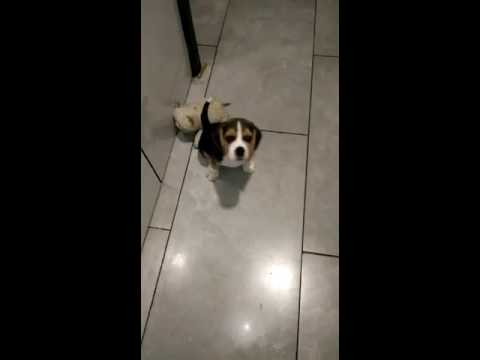 Beagle Dog Puppy For Sale 9999039993 In Delhi Price Of Beagle