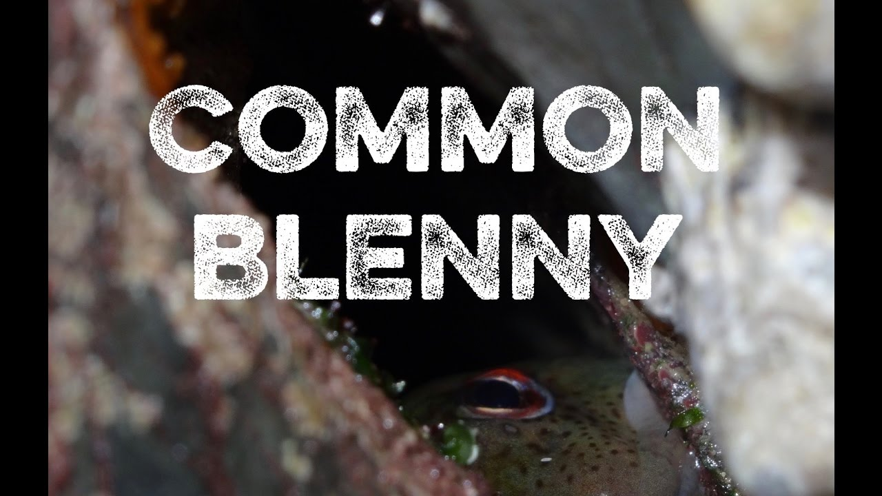 a fish that lives out of the water common blenny youtube