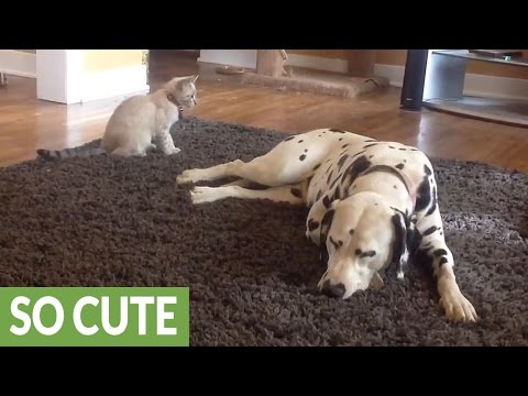 Fearless kitten pounces on pair of Dalmatians