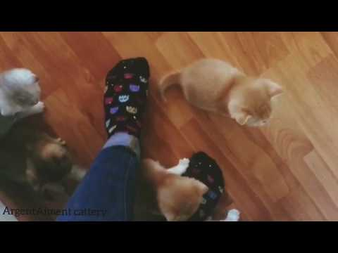 Sweetest scottish fold & straight kittens golden, silver, red ticked tabby ( chinchilla / shaded)