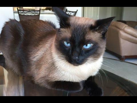 Кот сиамский видео
