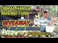 Obral Murah Aglonema Di Kebun Sendiri Giveaway Aglonema Sultan Brunai  Mp3 - Mp4 Download