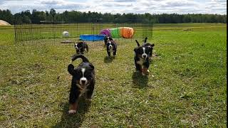 Berners running to me