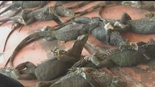 Iguana hunter working to rid Cape Coral of invasive species