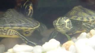Yellow Belly Turtles Feeding