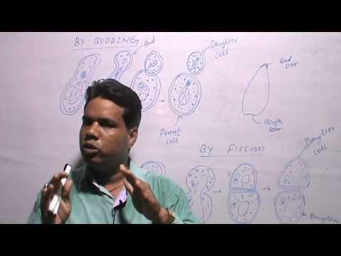 SACCHAROMYCES/YEAST-B.SC/M.SC- (HINDI EXPLAIN)