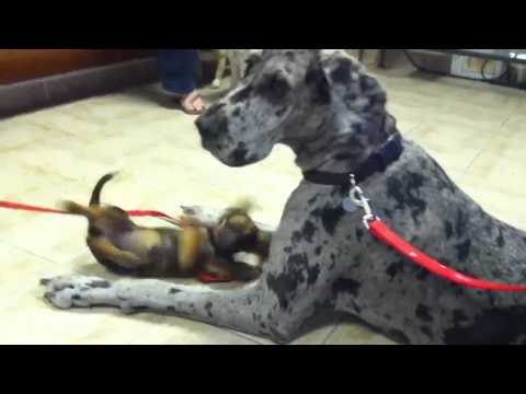 Great Dane at vet