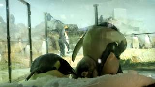 エンペラーペンギンのヒナ 2017/12/02 水槽清掃~人口雪の敷設 ※動画撮...
