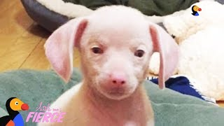 Feisty Pink Puppy Looks Just Like A Tiny Pig - PIGLET the Puppy | The Dodo Little But Fierce