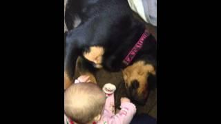 Rottweilers Eats Babies Hand!!!