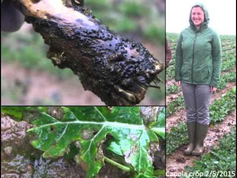 Managing Seed Borne Pathogens: Brassica Black Leg
