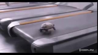 Черепаха-спринтер на беговой дорожке