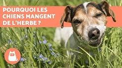 Pourquoi les chiens mangent de l'herbe ?