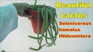 Hildewintera selenicereus || hamatus || Rat Tail Cactus plant Urdu Hindi