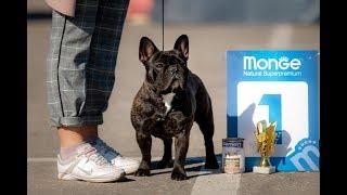 Фото и видео с Монопородной выставки французских бульдогов в Ярославле