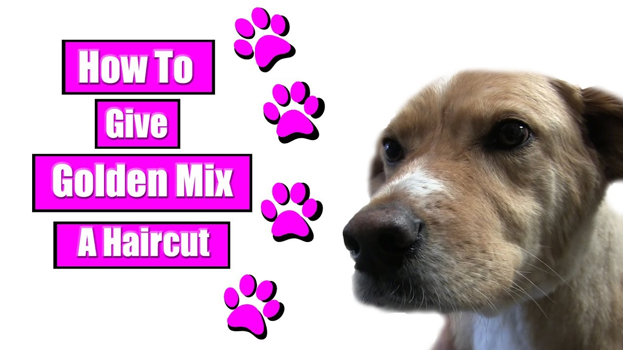 how to give golden mix a haircut - youtube
