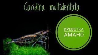 Креветка Амано .Caridina multidentata.