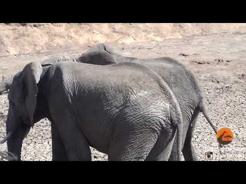 Male Elephants Mounting (Show of Dominance)