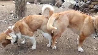 Köpek çiftleşmesi