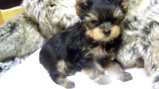 Yorkshire Terrier Puppy For Sale - Chloe & Fergus' Boy