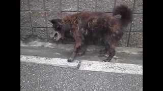 母犬:甲斐犬 × 父犬:白と薄茶のブチの雑種犬、両親どちらも阪神大震災...