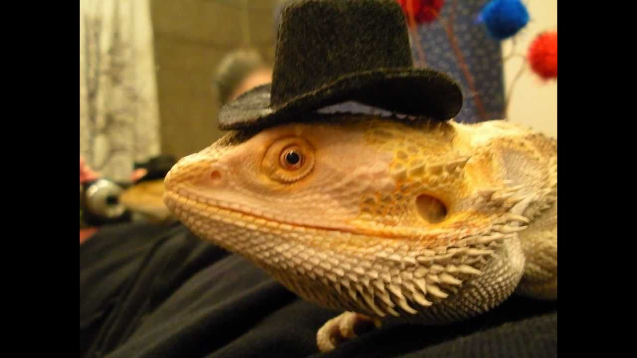 FUNNY COSTUME LIZARD ANIMAL BEARDED DRAGON SUBLIME WHAT I GOT 4th july patriotic usa.wmv - YouTube & FUNNY COSTUME LIZARD ANIMAL BEARDED DRAGON SUBLIME WHAT I GOT 4th ...