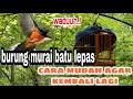 Cara Menangkap Burung Murai  Mp3 - Mp4 Download