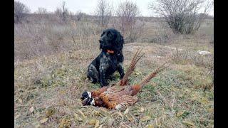 Закрытие охоты на фазана 2018. Русский охотничий спаниель Джокер.