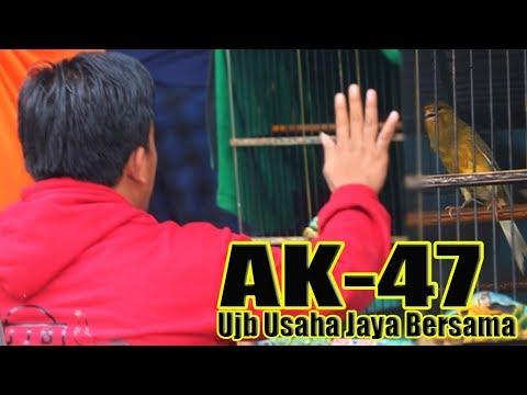 Download Lagu KICAU MANIA: Kenari AK-47 Orbitan Om UJB Berani Adu Nyali di Event Akbar PESONA TANJUNG CUP 1