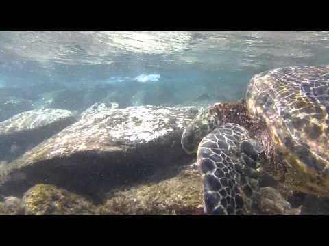 Green Sea Turtles in Maui