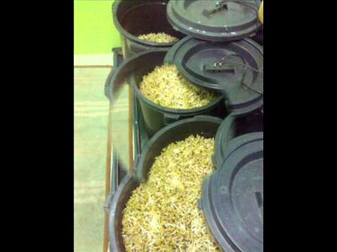 MUNG BEAN SPROUTS  PREPARATION