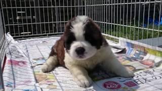 子犬が生まれていますよ http://www.woof.jp/sb.html 2017年2月17日生ま...