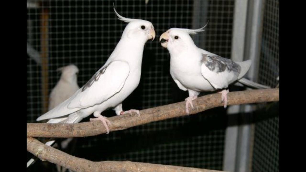 النبأ بالفيديو تعرف على أنواع طائر الكروان