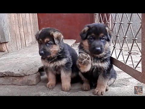 Клуб ВЕО Служебная собака , Восточноевропейская овчарка