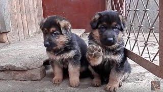 Щенки немецкой овчарки 1 мес. German Shepherd Puppies. जर्मन शेफर्ड पिल्लों।  الحيوانات مضحك.Одесса.