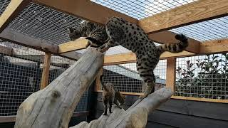 Savannah Cats on their very big cat tree!