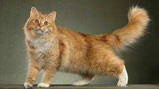 Сибирская кошка. Что надо знать хозяину