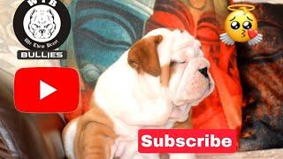 Dog Breed English Bulldog Information